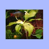 Echinodorus(2).html