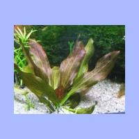 Echinodorus_Rose.html