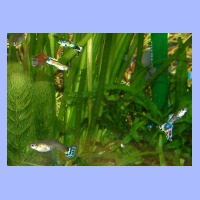 Guppies(1).html