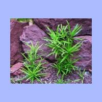 Heteranthera_zosterifolia2.html