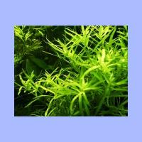 Heteranthera_zosterifolia.html