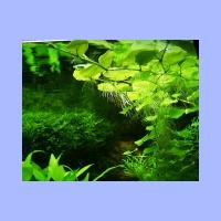 Hydrocotyle_leucocephala1.html