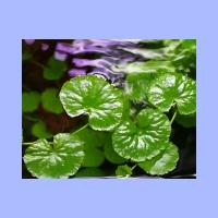 Hydrocotyle_leucocephala2.html