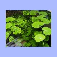 Hydrocotyle_leucocephala3.html