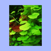 Hydrocotyle_leucocephala4.html
