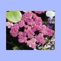 Phyllanthus_fluitans3.html