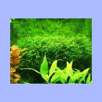 Vesicularia_dubyana1.html